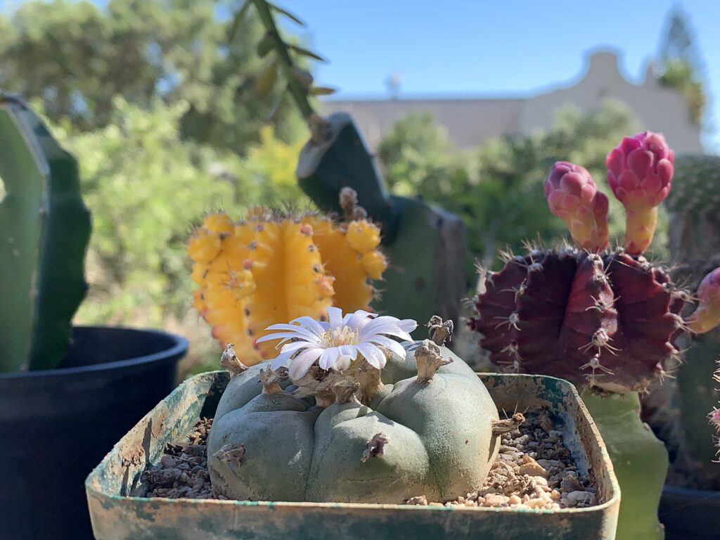 A blooming peyote cactus in a planter with colorful cacti behind it.
