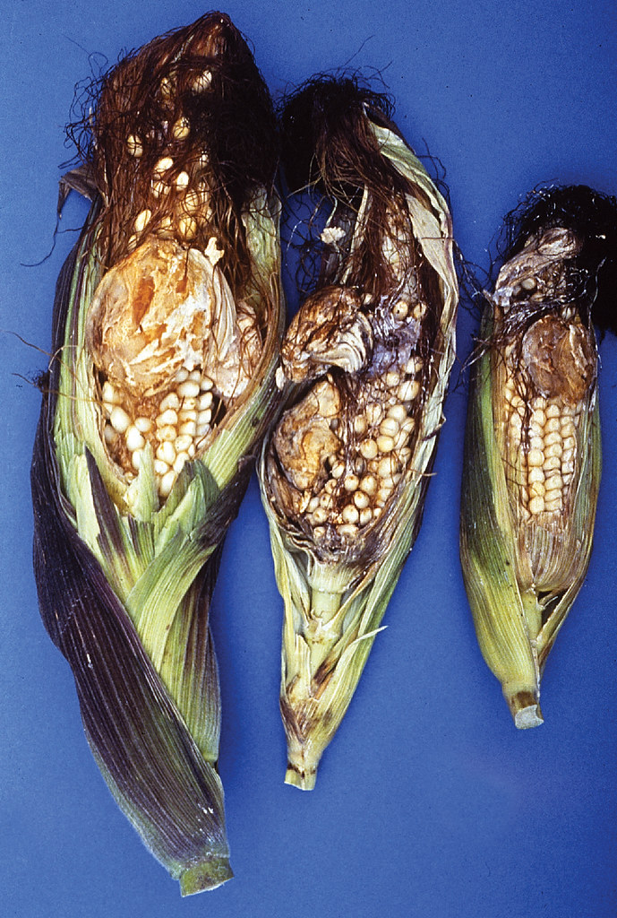 Ergot on maize. This black fungus was commonly used as an herbal abortion remedy.