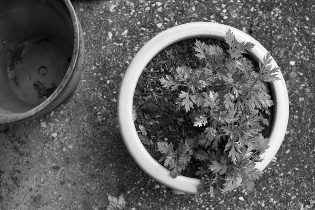 Black and white photo of mugwort planted in a pot.
